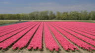 AERIAL: Hardworking workers on tulip flower field working on sunny spring day video