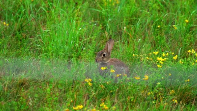 Hare in green grass, a rain shower video