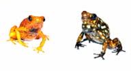 Harlequin Poison Frog (Oophaga sylvatica) video