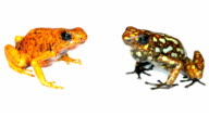 Harlequin Poison Frogs (Oophaga sylvatica) video