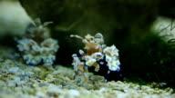 Harlequin Shrimp video