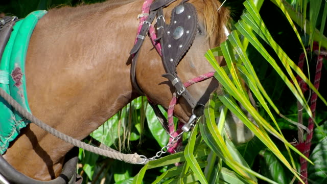 Harnessed Horse Eating Palm Leaves Close-up, Cuba video