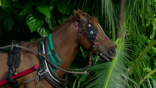 Harnessed Horse Eating Palm Leaves, Cuba video