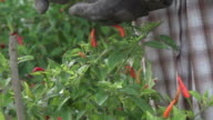 Harvest Chili Peppers At The Farm video