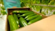 harvest cucumbers in a box video