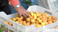 Harvest Dried Apricot video