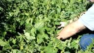 Harvest green beans from garden P HD 2020 video