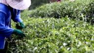 Harvest green tea video