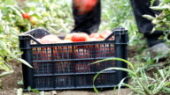 harvest helper picking up fresh tomatoes at plantation video