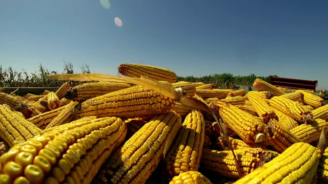 Harvest of Maize video