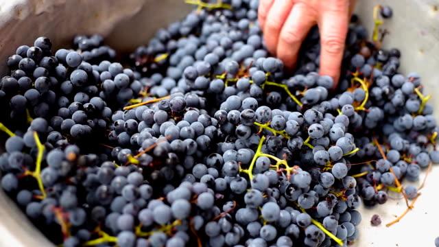 harvest of purple grapes video