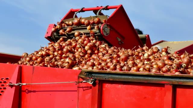 Harvest Onions in a Field video