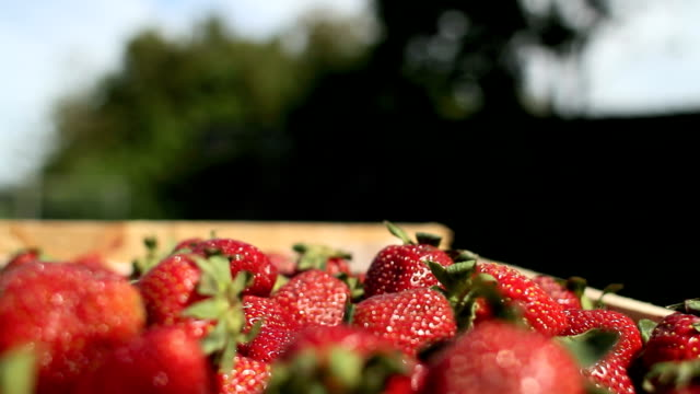 harvest strawberries video