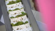 Harvest white vine on conveyor belt video
