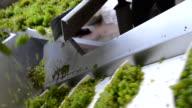 Harvest white vine-Manual sorting trailer video