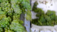 Harvest white vine-Manual sorting vibrating table video