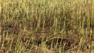 Harvested rapeseed field with bushes video