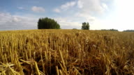 Harvested wheat field, time lapse video