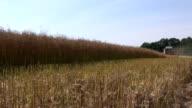 Harvester harvesting rapeseed video