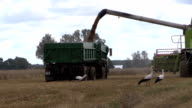 Harvester unloads wheat grain on farmland field background video