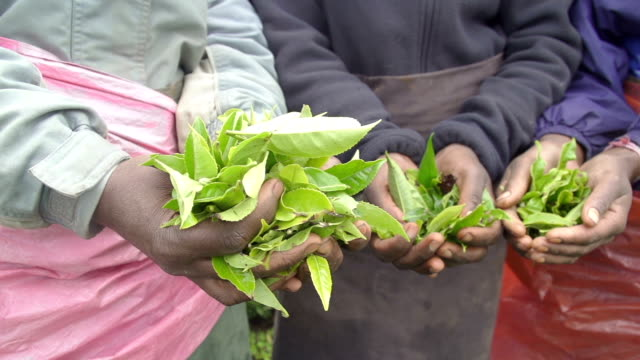 Harvesters holding green tea leaves video