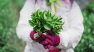 Harvesters holding green tea leaves video