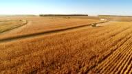 Harvesters Work on Cornfield video