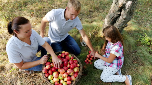Harvesting apples in the apple orchard video