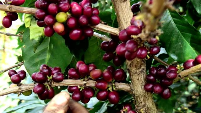 Harvesting Arabica Coffee video