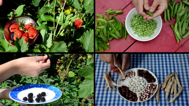 harvesting berries and legume peas and beans in garden. Collage video