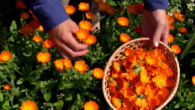 harvesting  calendula officinalis marigold medical flowers video