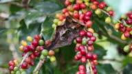 Harvesting Coffee Beans video