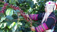 Harvesting Coffee Beans video