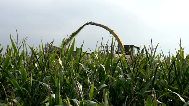 Harvesting corn on field with a combine harvester and high maize plants. video