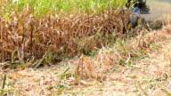 Harvesting Corn video