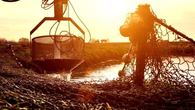 Harvesting Fish In Fish Farm video