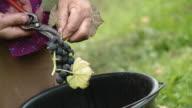 HD: Harvesting Grape video