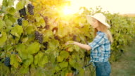 Harvesting grapes in autumn video