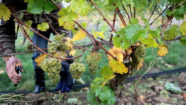 Harvesting grapes of the vine to make wine video