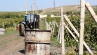 harvesting grapes on the plantation video
