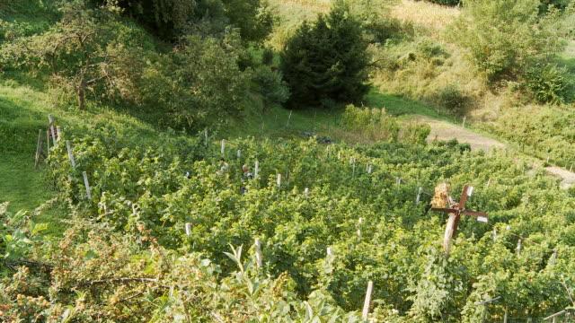 HD TIME LAPSE: Harvesting Grapes video