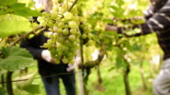 Harvesting grapes video