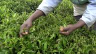 SLOW MOTION: Harvesting green tea bush in Sri Lanka video