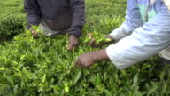 SLOW MOTION: Harvesting green tea bush in Sri Lanka video