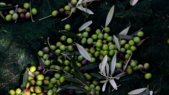 Harvesting olives in Italy video