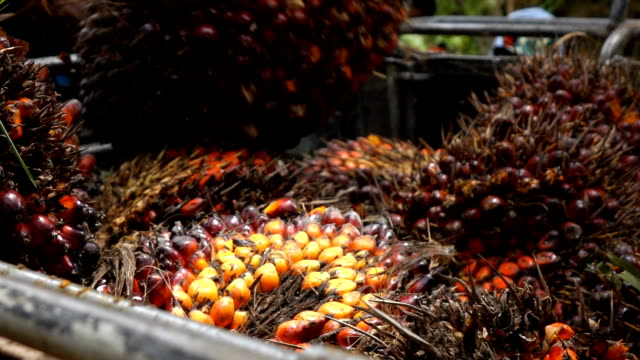 Harvesting palm oil in the plant,Slow motion video
