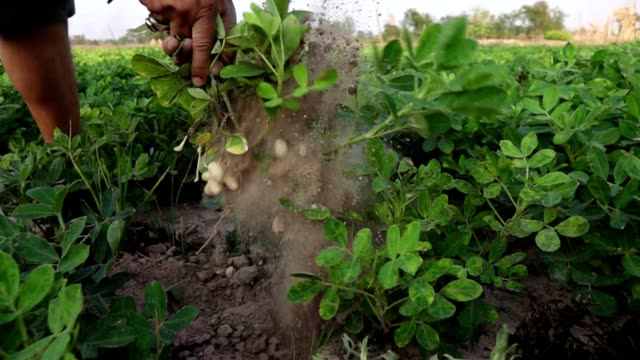 Harvesting peanut in the field Slow motion video