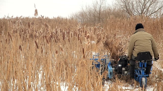 Harvesting reed in winter video