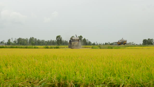 Harvesting rice video