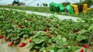 Harvesting strawberries video